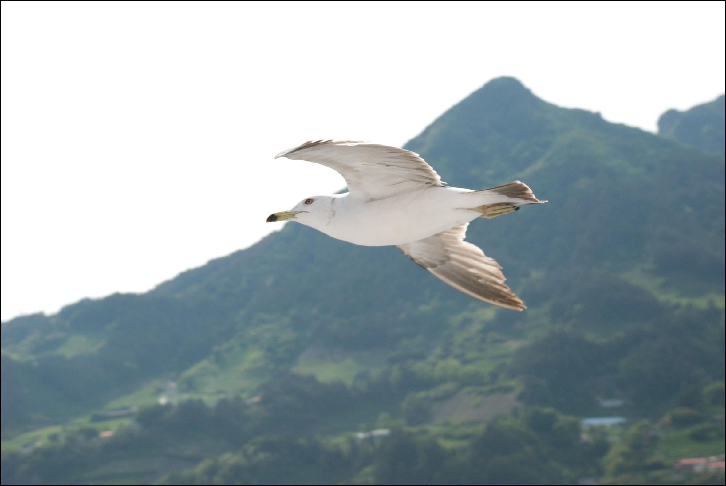 A persistent seagull cruises for handouts next to the boat whilst I tour Ulleungdo's shore